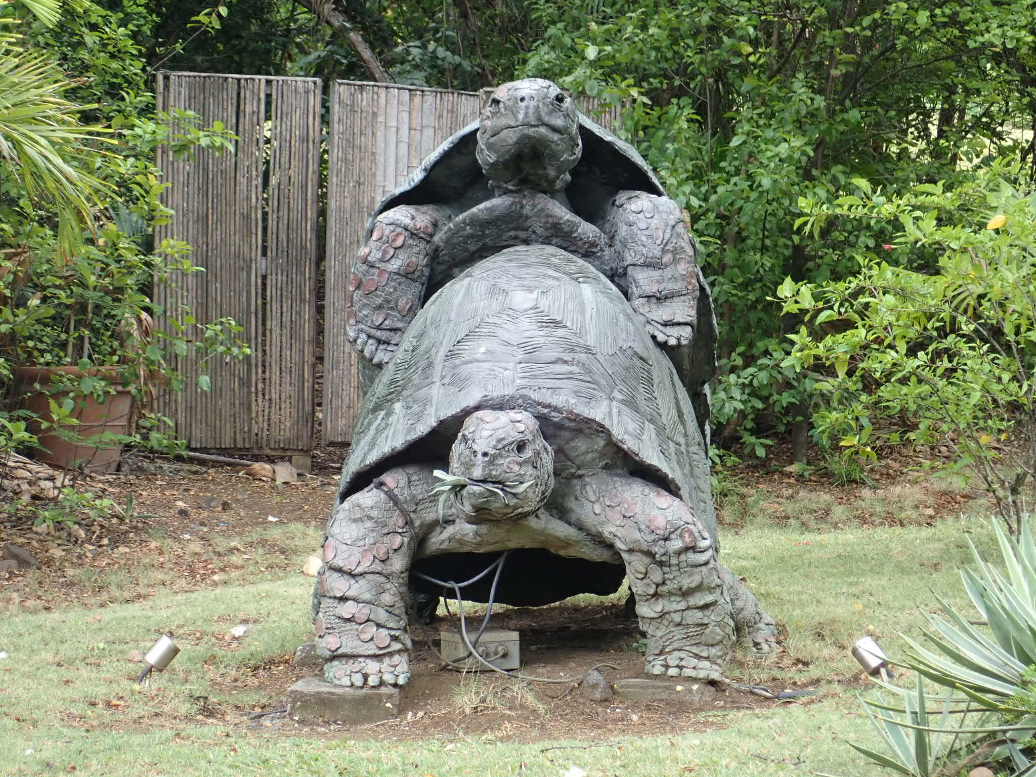 Mustique's humping tortoises statue!