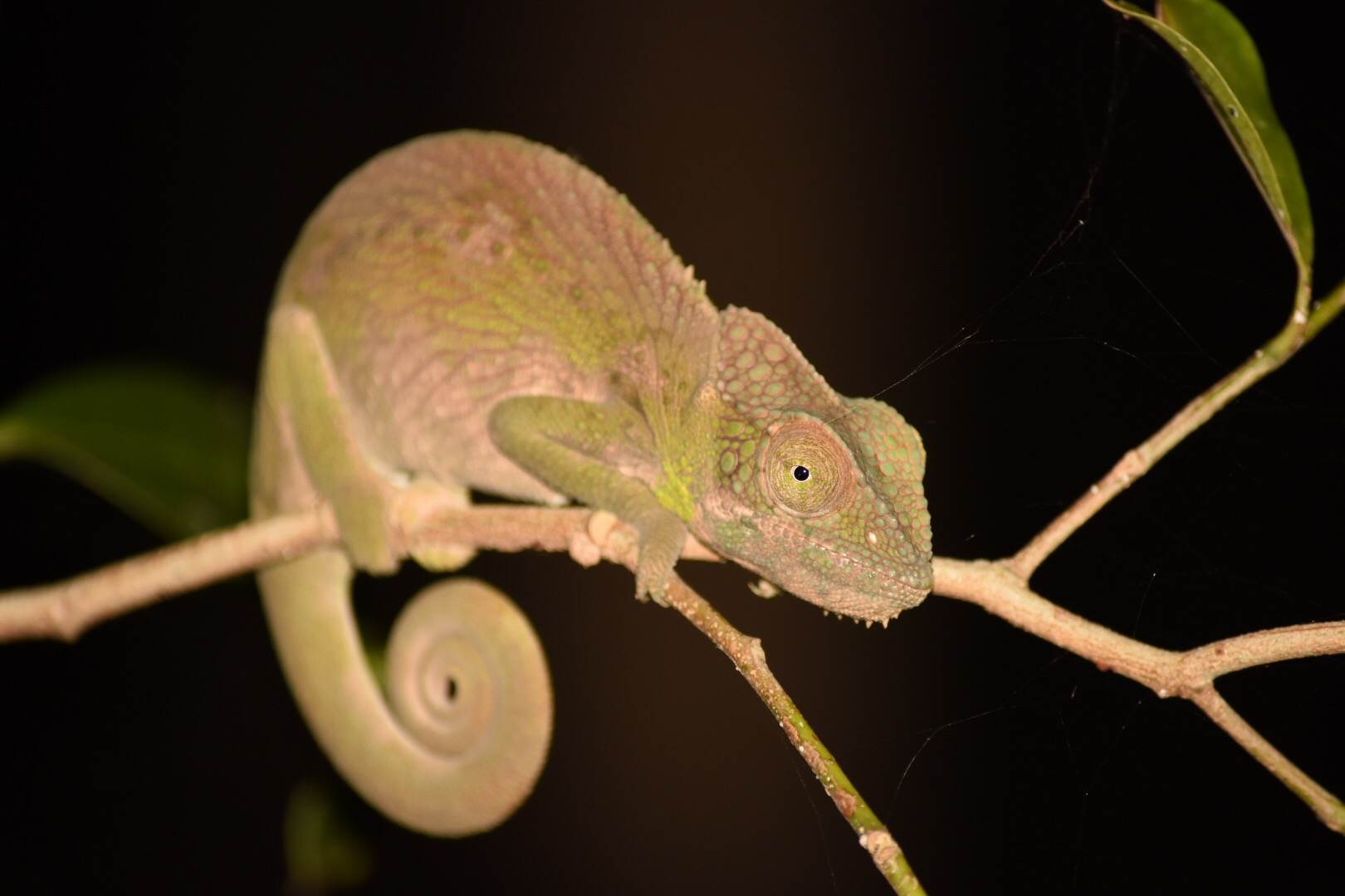 Chameleon by night!