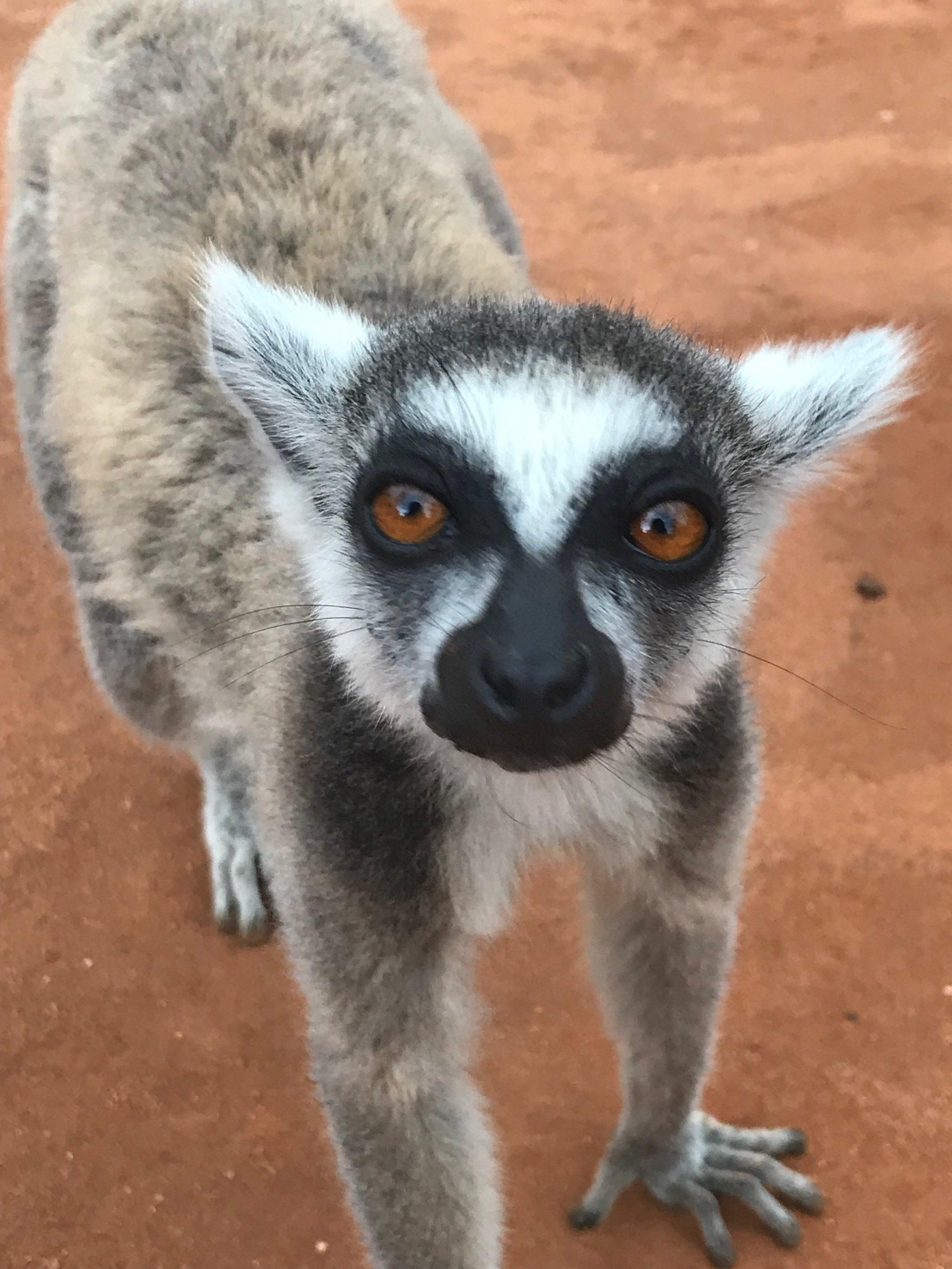 Ring Tail Lemur