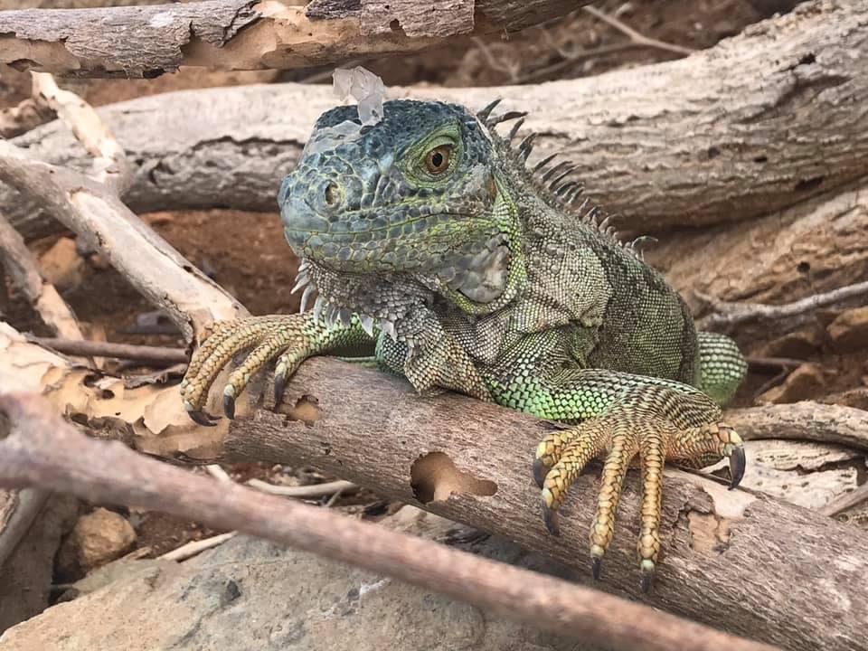 And iguanas.....