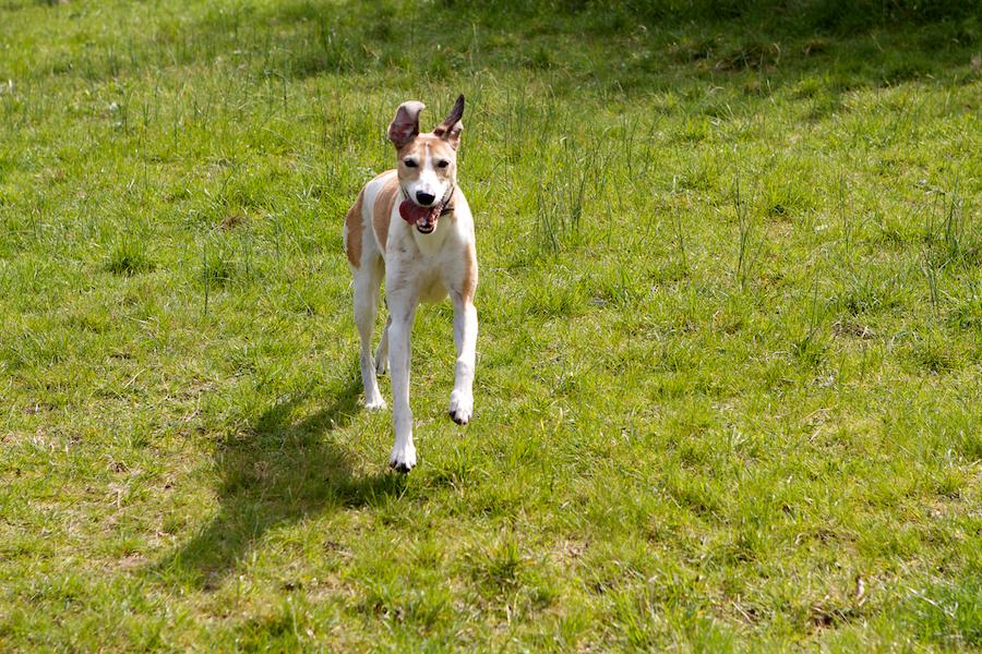 Dog-Walking-Chiswick-Richmond