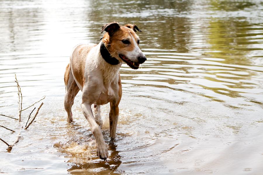 Dog-Boarding-in-Ham-Chiswick