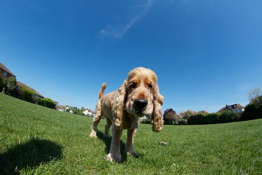 Dog-Walker-Barnes-Richmond