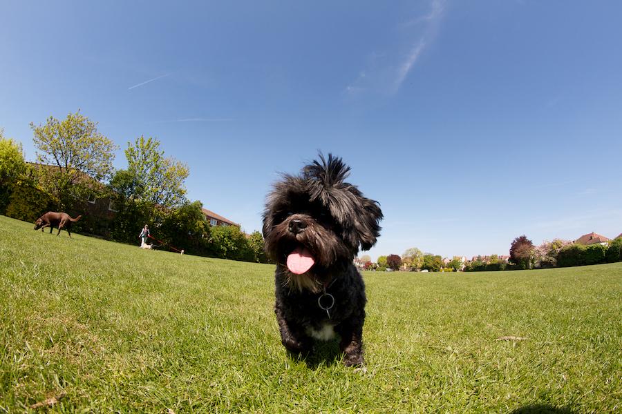 Summertime-Dog-Walker-Chiswick