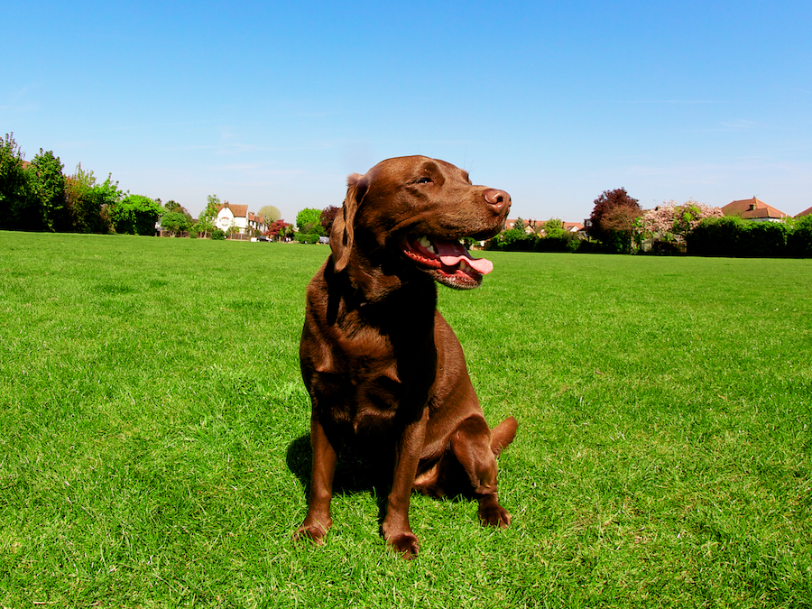 Large-Dog-Walker-Richmond-Local