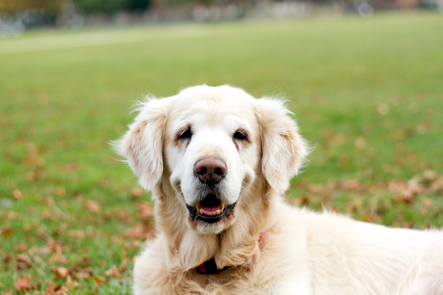 Older-Dogs-Dog-Walking-Local-Richmond