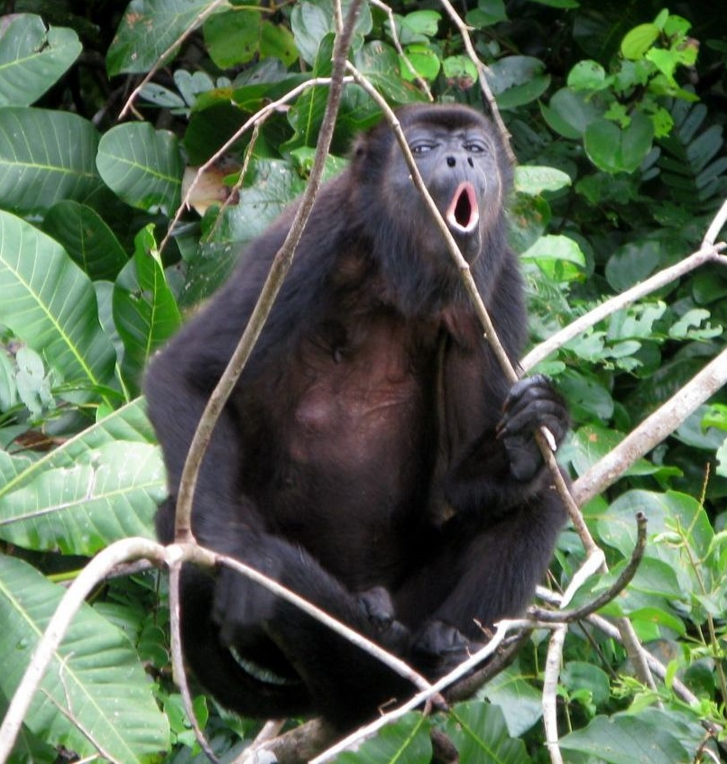 mantled-howler-monkey-colon-panama+1152_12896013977-tpfil02aw-29271.jpg