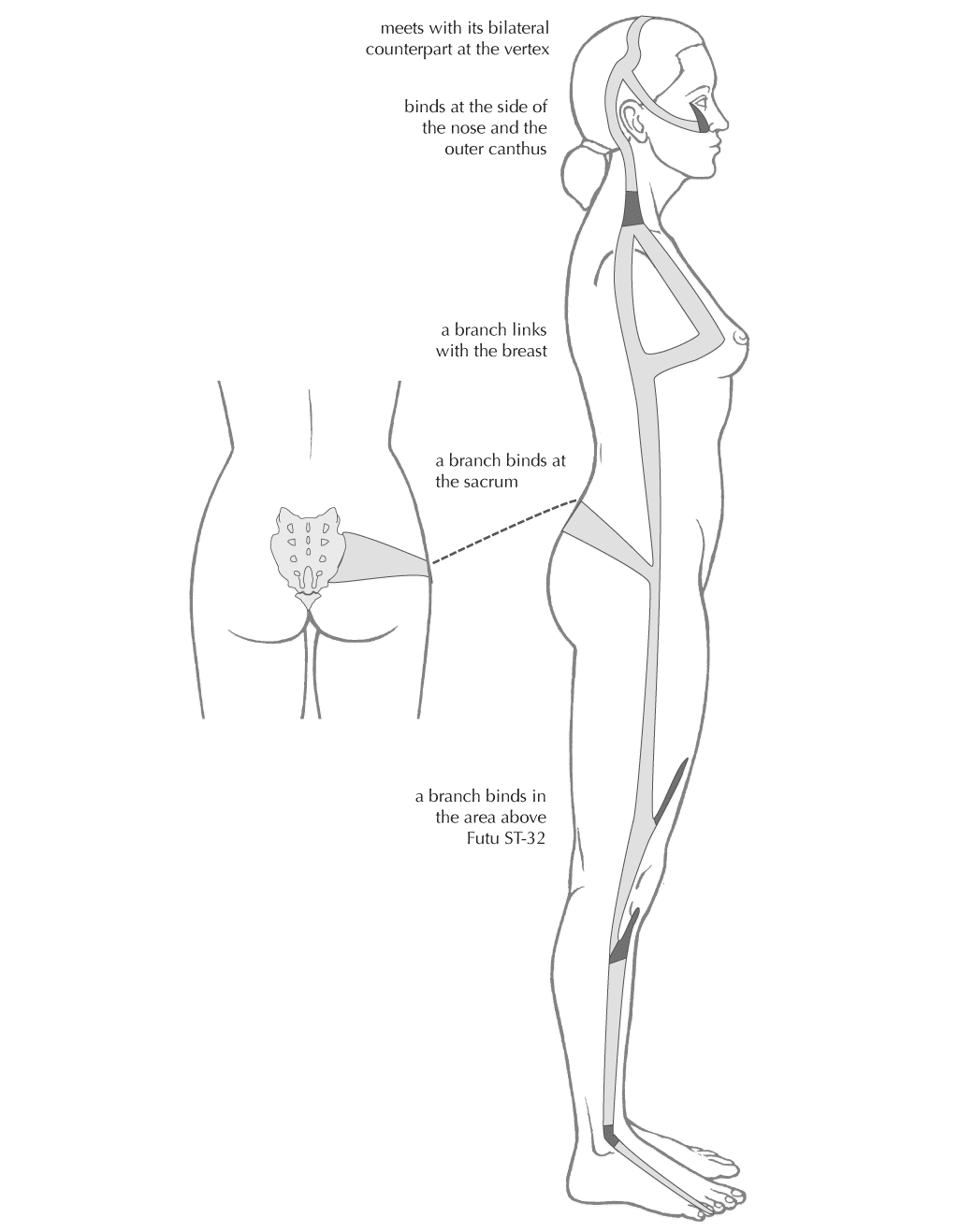 Gallbladder Sinew Ap.png