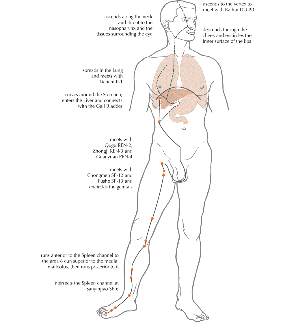 Liver Meridian Primary Ap.png