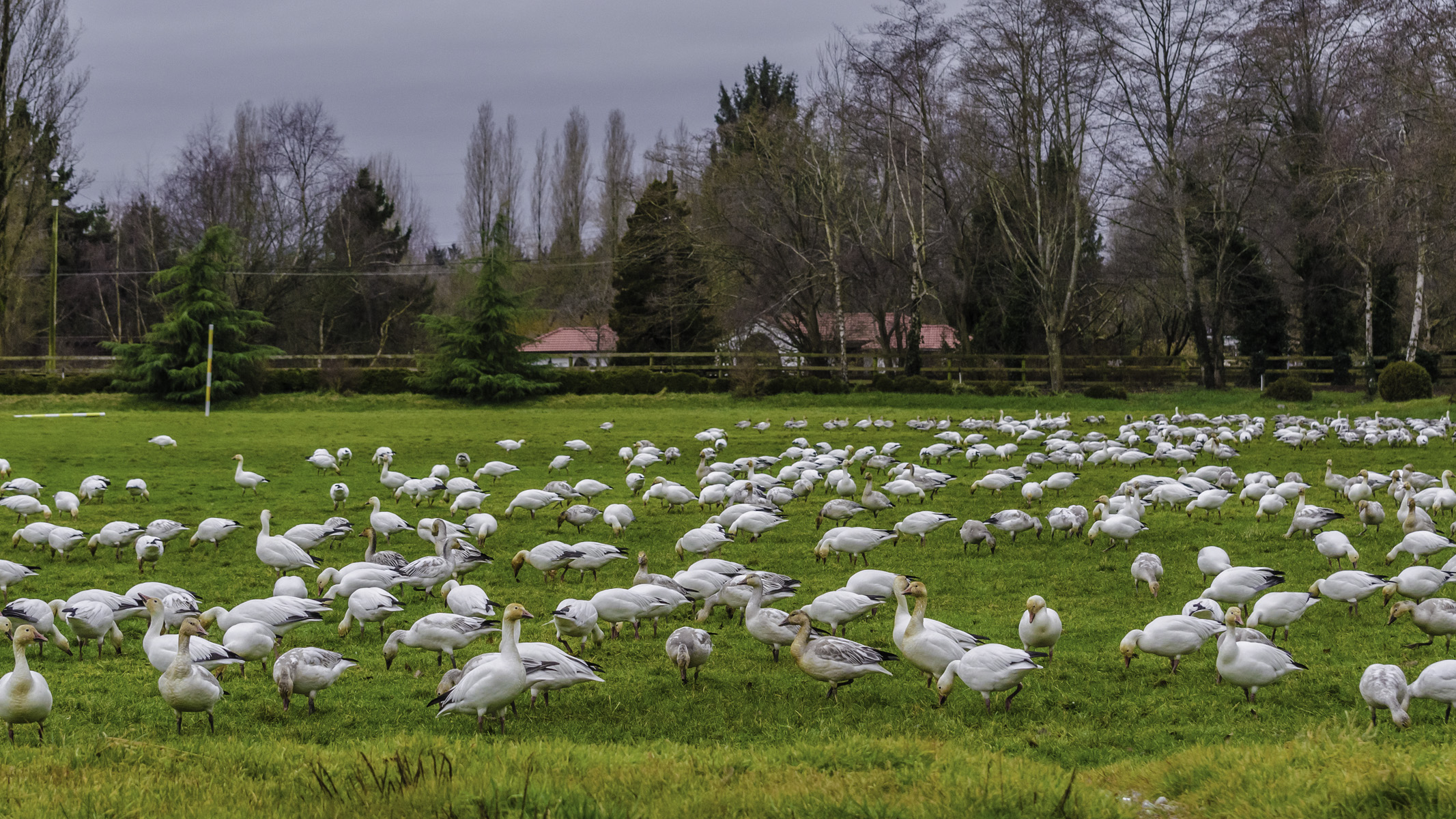 Snow geese spending a few days on the polo field