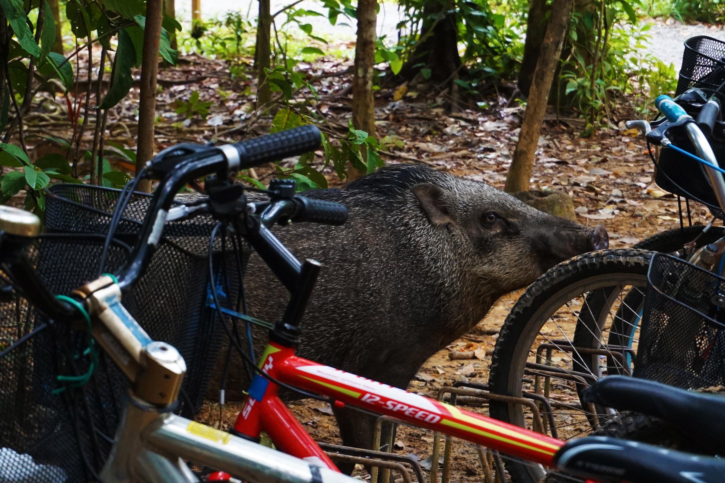 We found the wild boar!