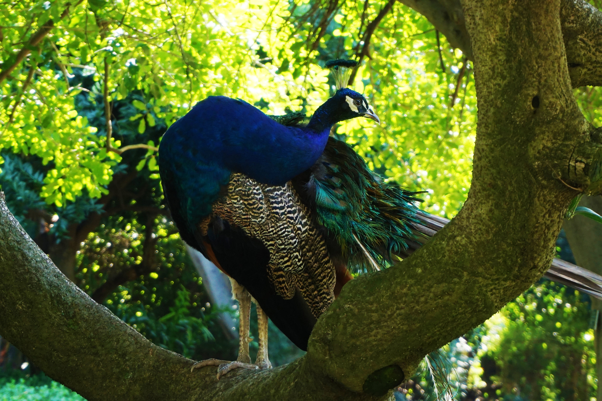 The most remarkably unbothered peacock
