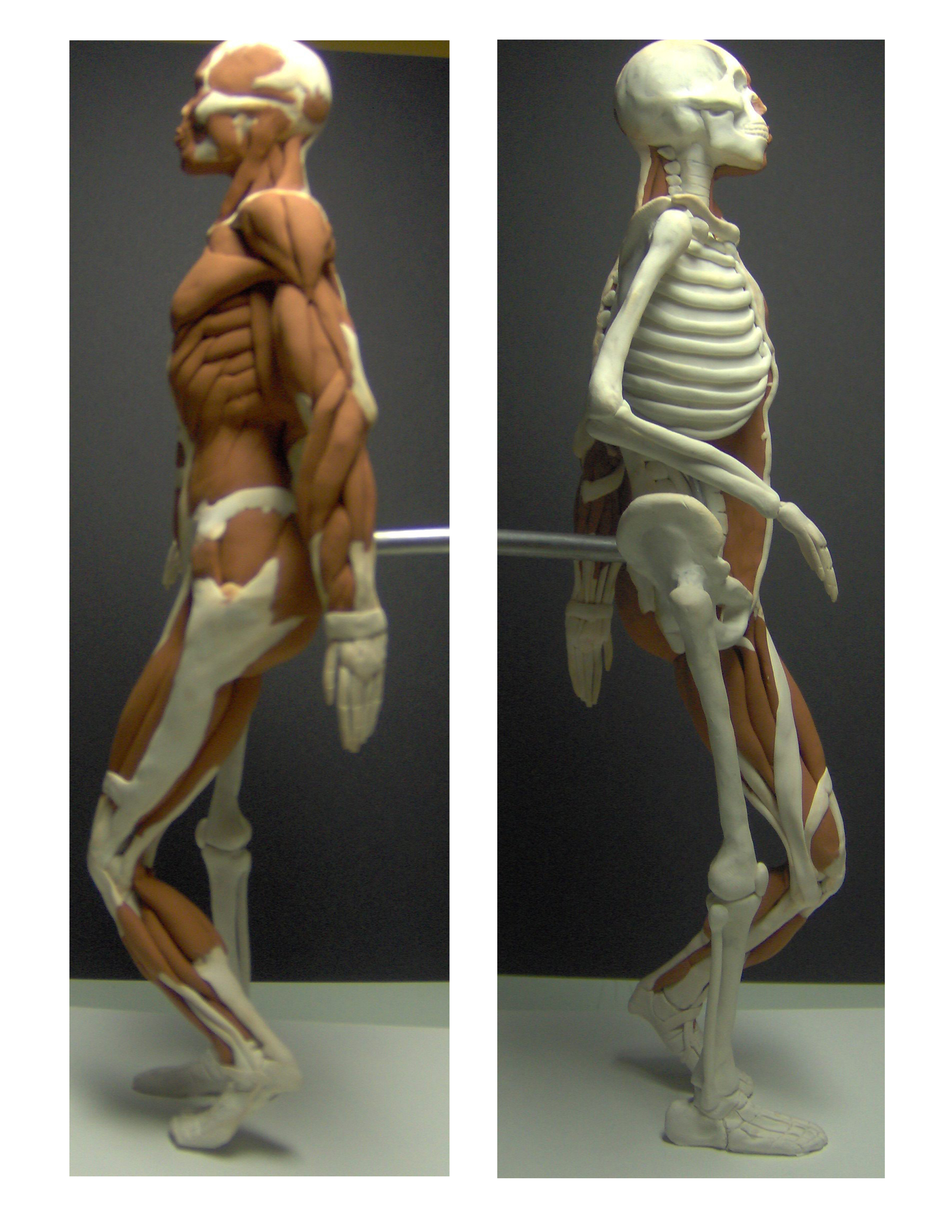Human Skeletal & Muscular Structure Maquette