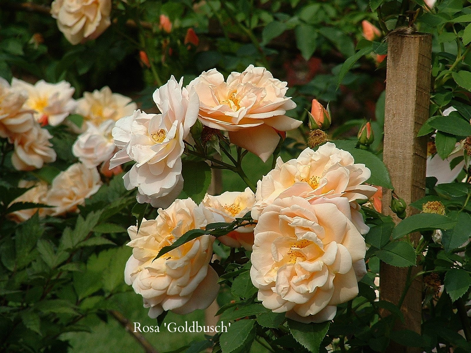 200606 rose 'Goldbusch' 2.JPG