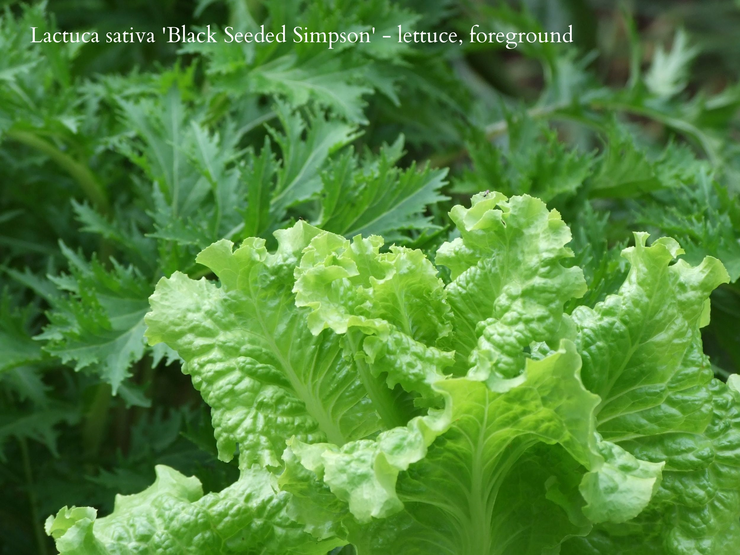 lettuce and chicory 20090610.JPG