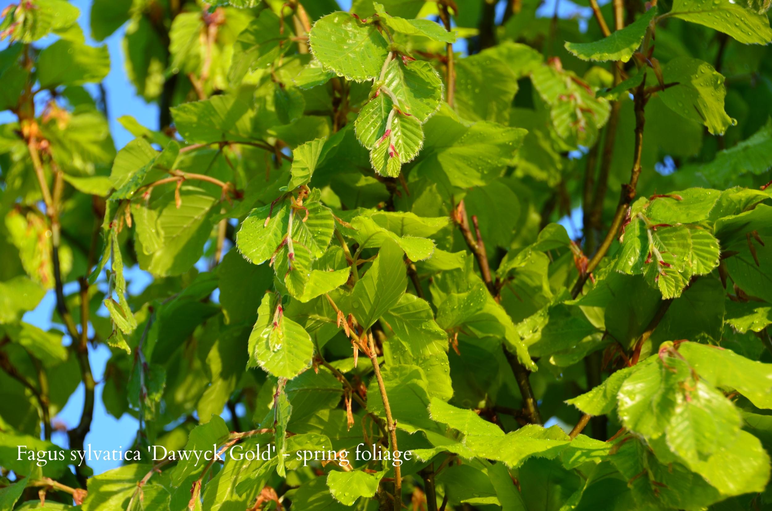 beech  Fagus sylvatica 'Dawyck Gold' - spring.JPG