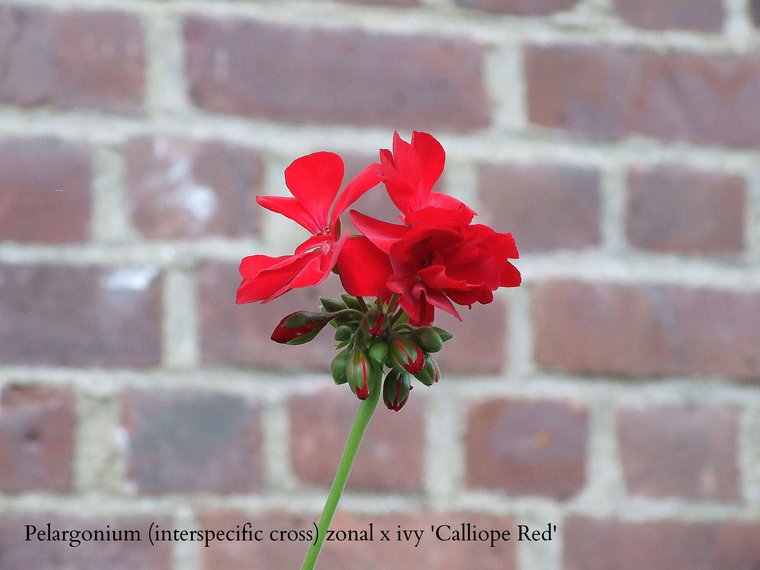 geranium - Calliope red 20100517.JPG