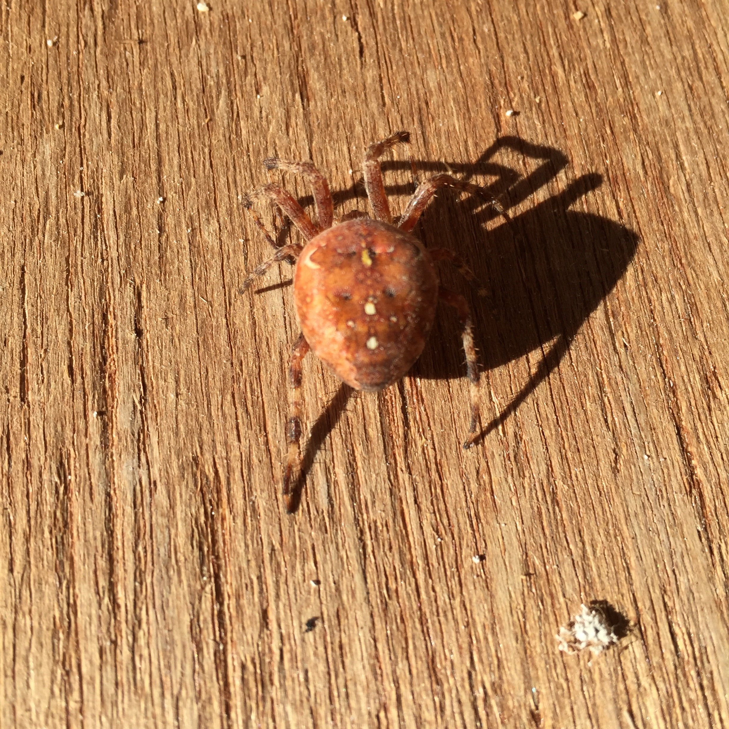 This is not a tiny crab; it's a GIANT spider.