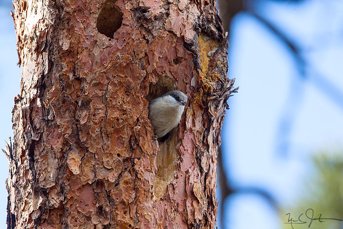 Nuthatch at nest entrance.