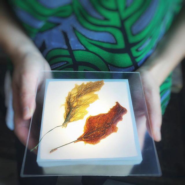Beef Leaf & Tuna Weed: photo by Clare Britt