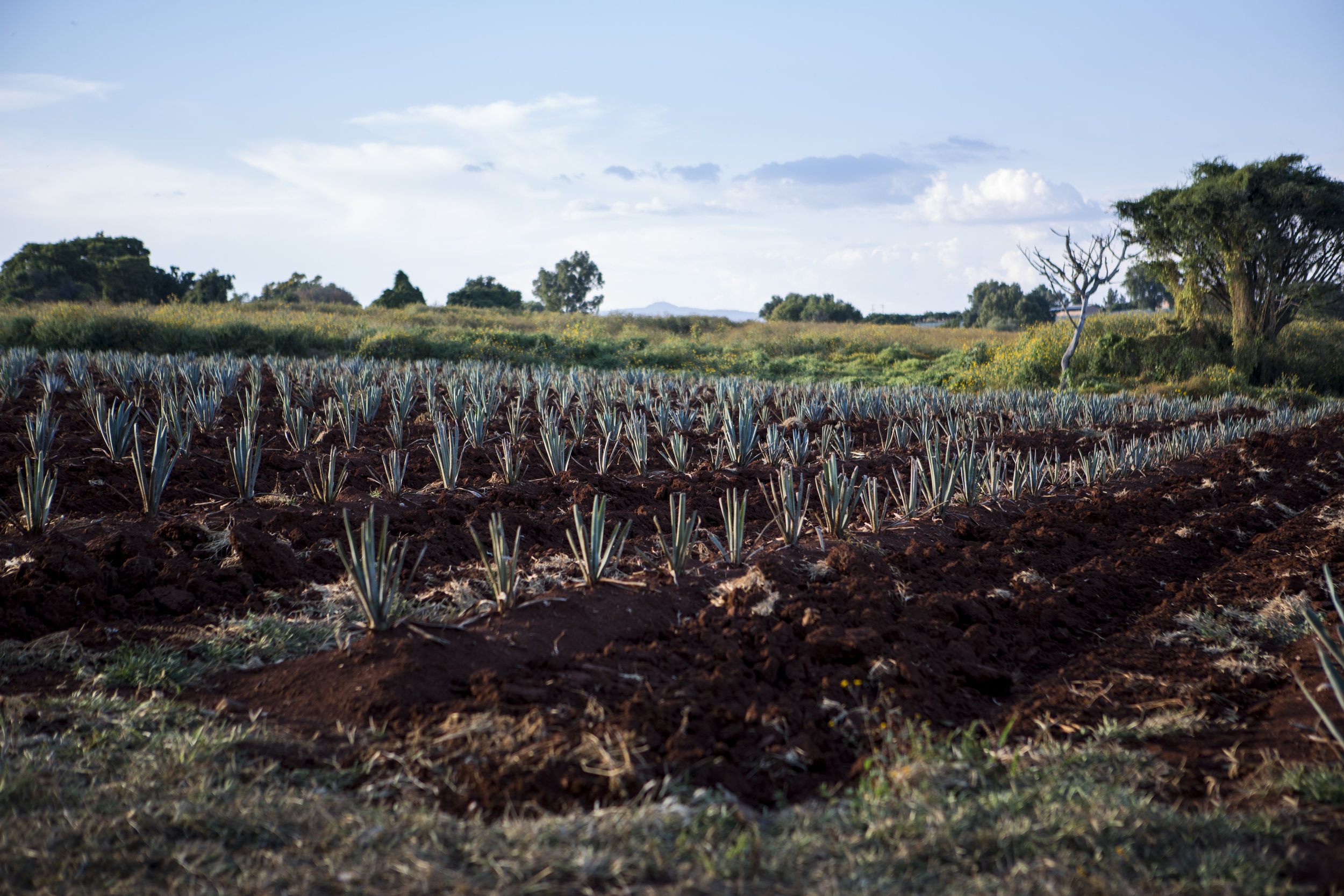 Blue Agave Fields at Casa Don Julio