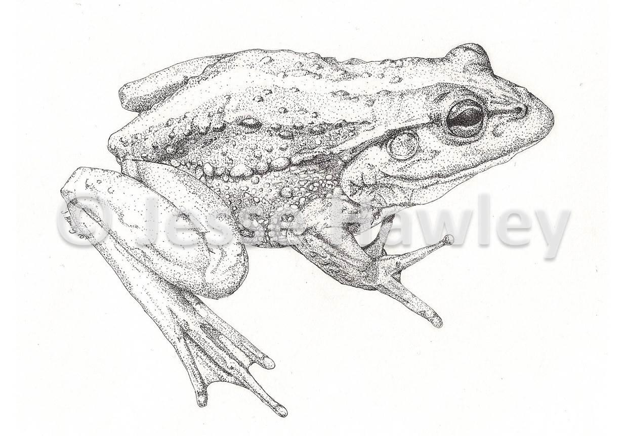 Frog October 7 2014.jpg