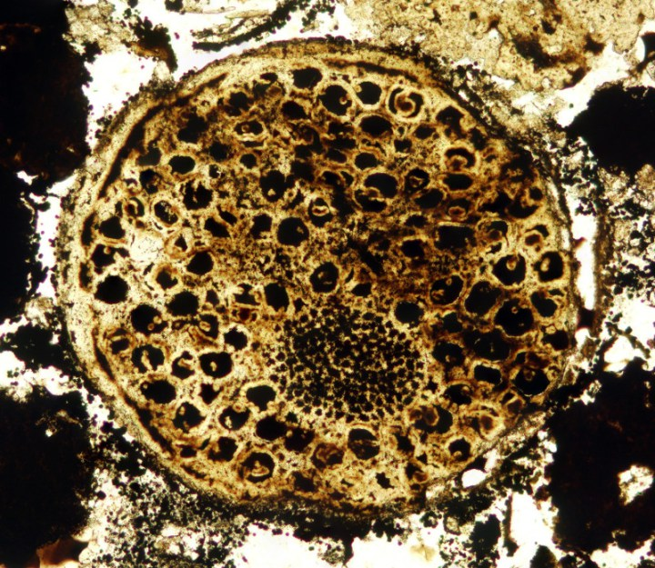 One of the 600 million year old multi-celled microfossils. Photo: Virginia Tech