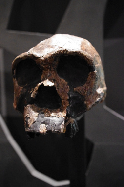 Homo ergaster or 'the working man', a human ancestor that lived in Africa one and a half million years ago. Photo: Staffan Vilcans CC BY-SA 2.0