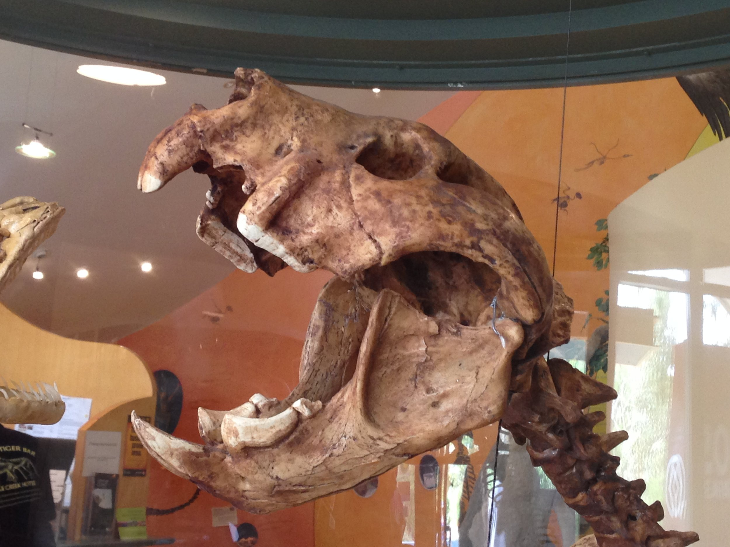 """""""Mounted display of Thylacoleo carnifex at the Wonambi Fossil Centre, Naracoorte Caves National Park, South Australia."""" Wikicommons."""