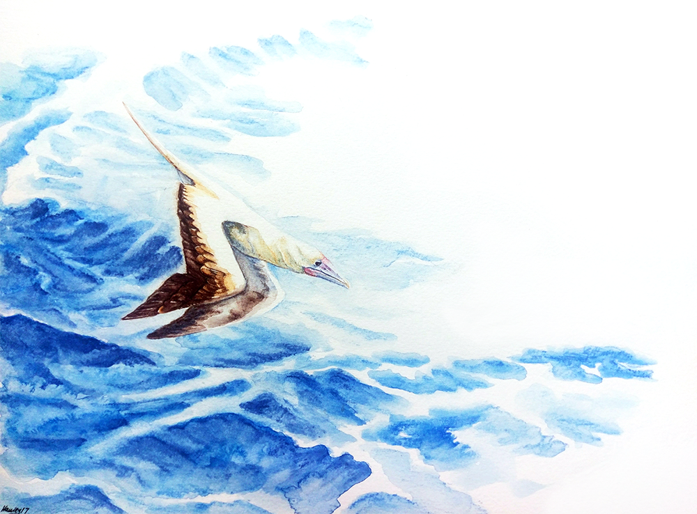 A red-footed booby folding in its wings, preparing to dive for a flying fish. Watercolour pencil. Based on a photo from Eric Woehler.