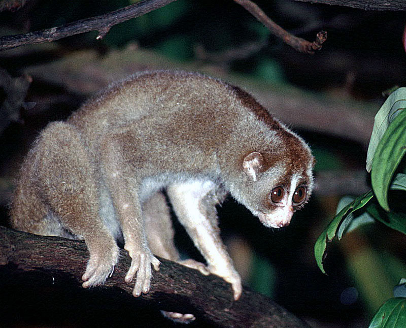 Sunda slow loris. This is the only venomous primate. Now, fellow primate, don't get jealous. The slow loris has become the victim of pet-trading due to its adorable threat display. To ward off threats, the slow loris lifts its arms, displaying its poisonous armpits, which it can lick to arm its teeth with a venomous bite. Image: Dick Culbert/Flickr/CC [featured]