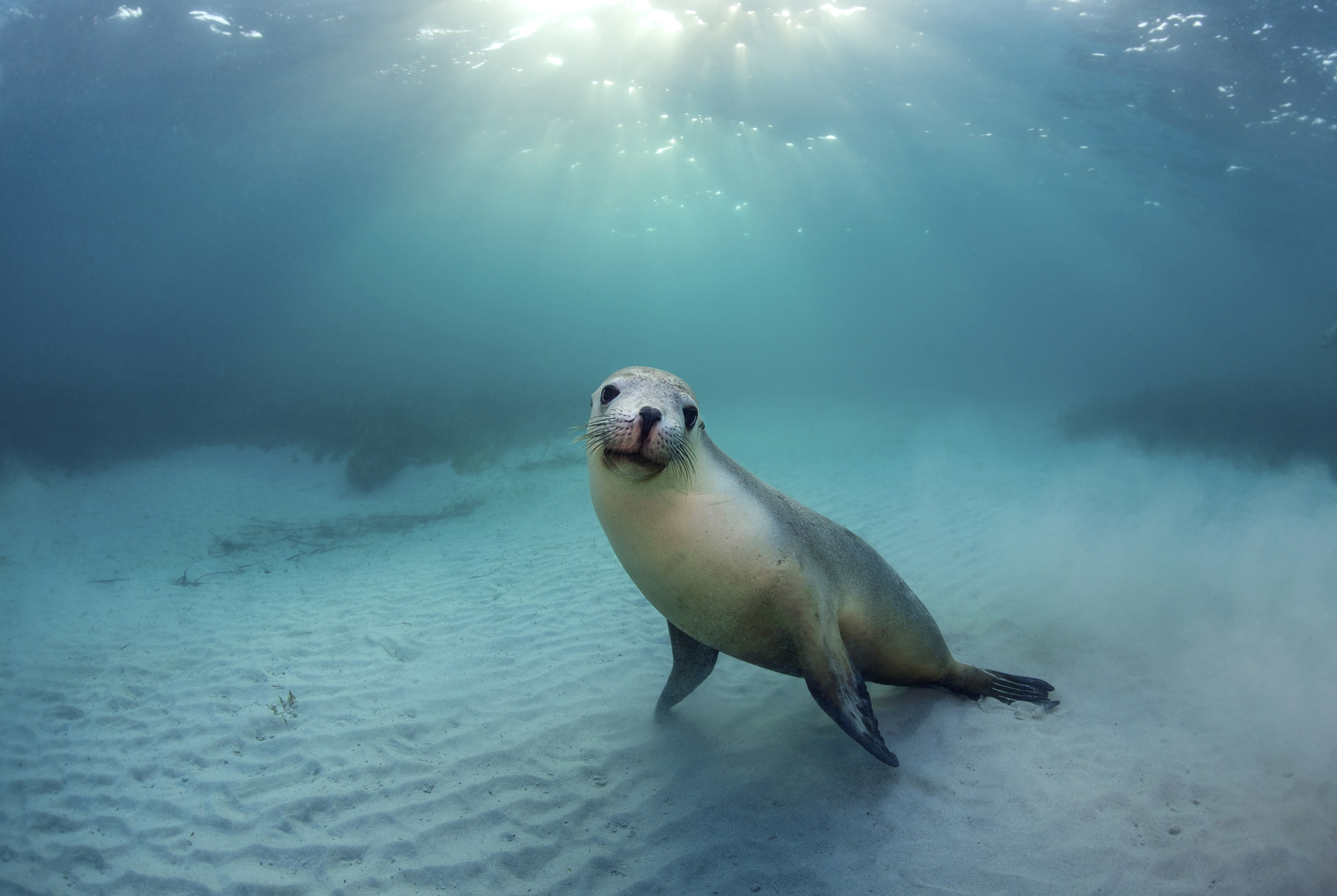 Australian Sea Lion at Hopkins Island.