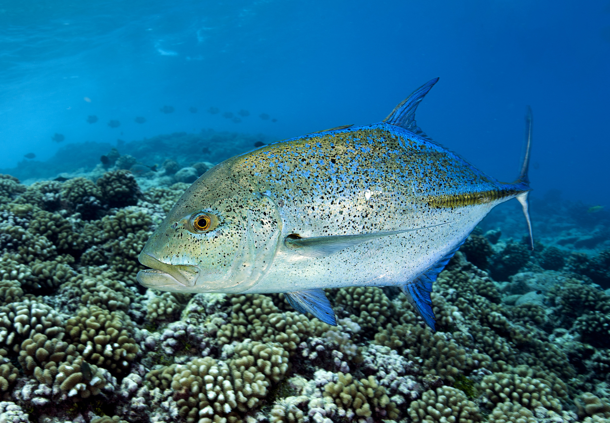 Bluefin trevally, Tiputa Pass, Rangiroa, French Polynesia.