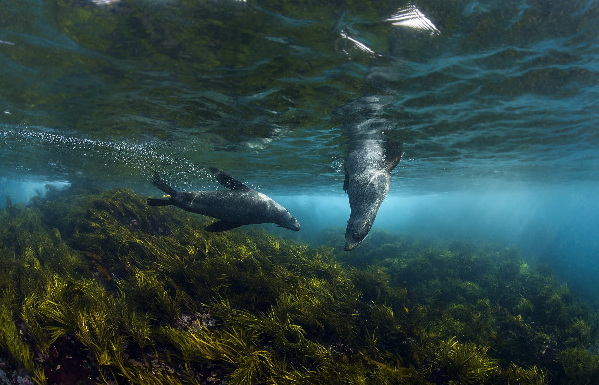 Australian Fur Seals at Montague Island