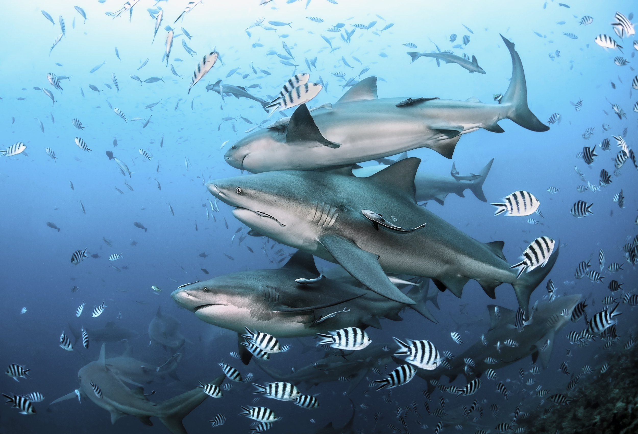 Group of bull sharks at Beqa Lagoon, Fiji.