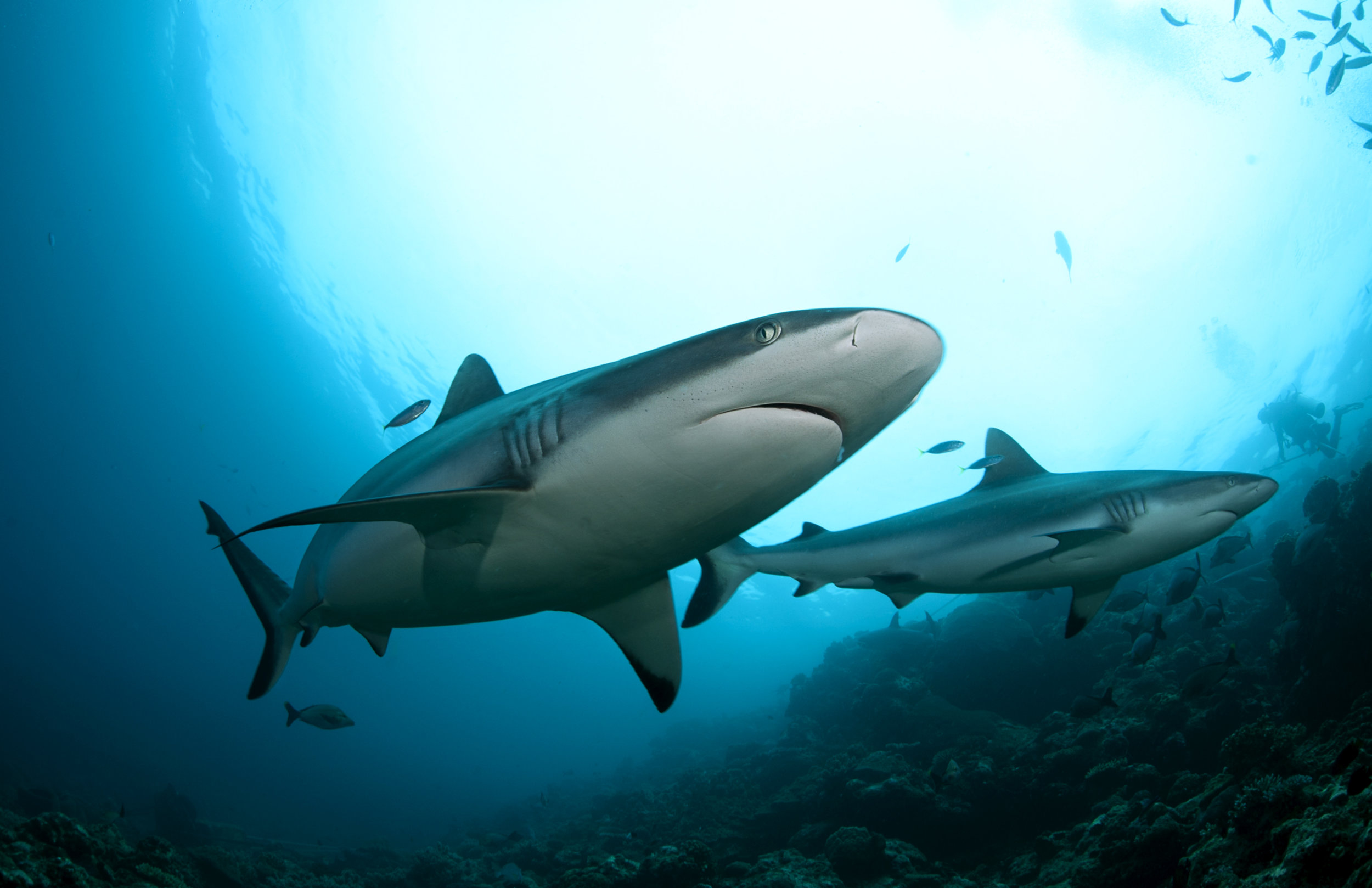 Grey reef sharks at Beqa Lagoon, Fiji.