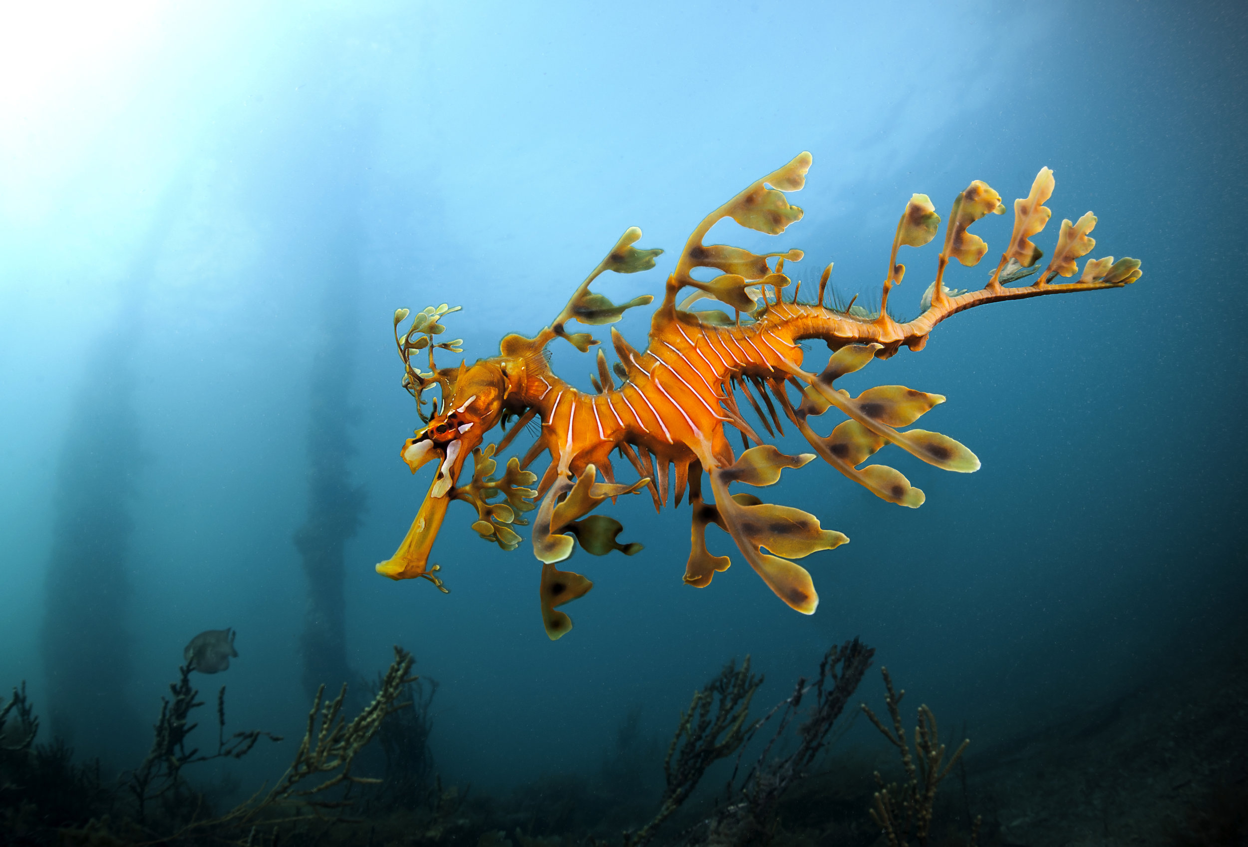 Leafy Seadragon at Rapid Bay, South Australia.
