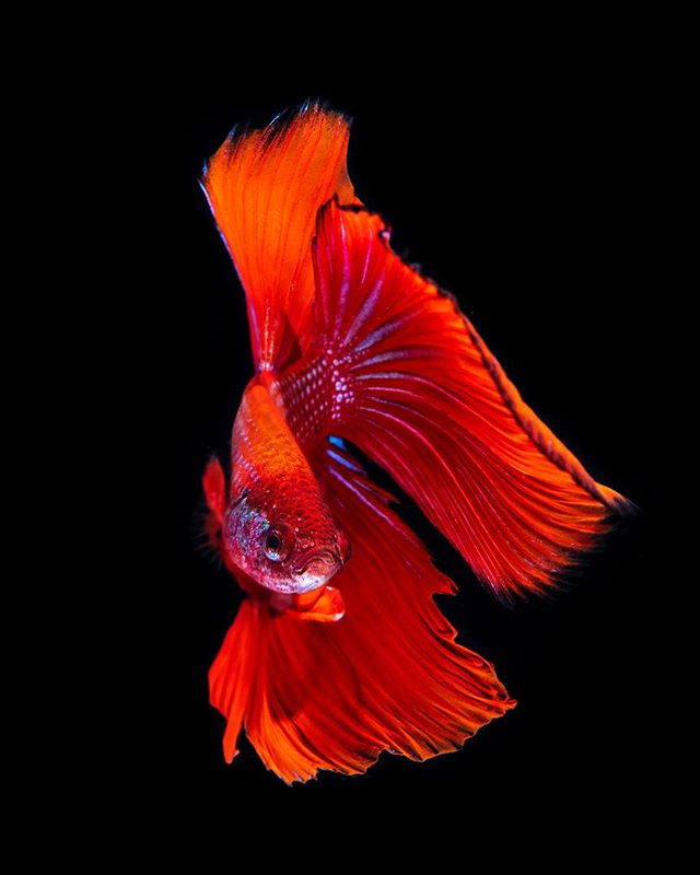 Red betta fish with his fins on display. Lit with 2 Ikelite strobes and a white / blue led light. #betta #fish #uwphotography #red