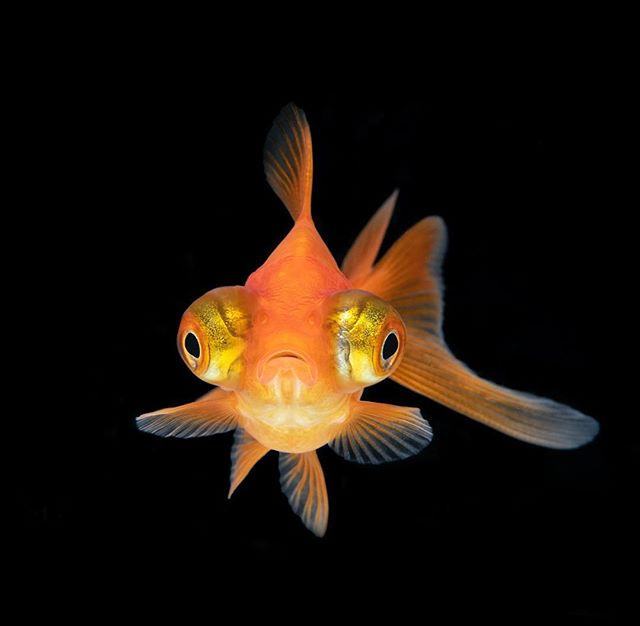 Here's another image from a series of shots taken in a tank I built with a black background to fit my underwater camera. This is a telescope goldfish channelling a hammerhead. Lighting from 2 Ikelite strobes and a white / blue LED light. #macro #goldfish #nikon #105mm #d850