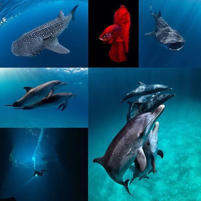 Happy new year everyone! Favourite shots of 2018, clockwise from top left: whale shark off Isla Mujeres, beta fish in my photo tank, whale shark off IM, spotted Atlantic dolphins in the Bahamas, sinkhole in Mt Gambier, dolphins in the Bahamas.