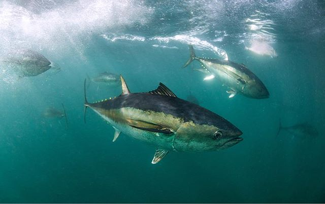 Southern Blue Fin Tuna In South Australia. We're Heading over to Kangaroo Island today, hope to get in the water with some seals and dolphins. #tuna #bluefintuna #southaustralia #underwater #uwphotography #australia #fisheye