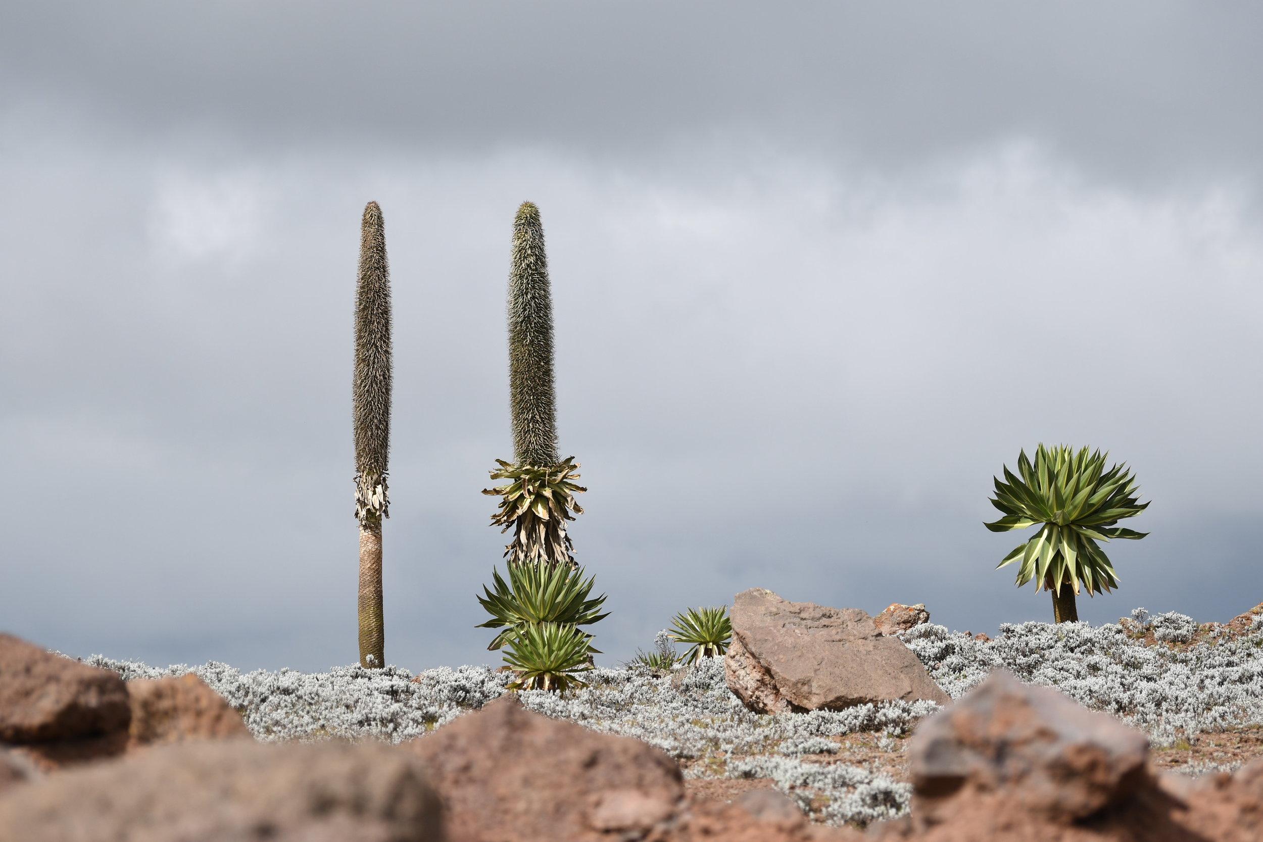 Giant Lobelia on the plateau