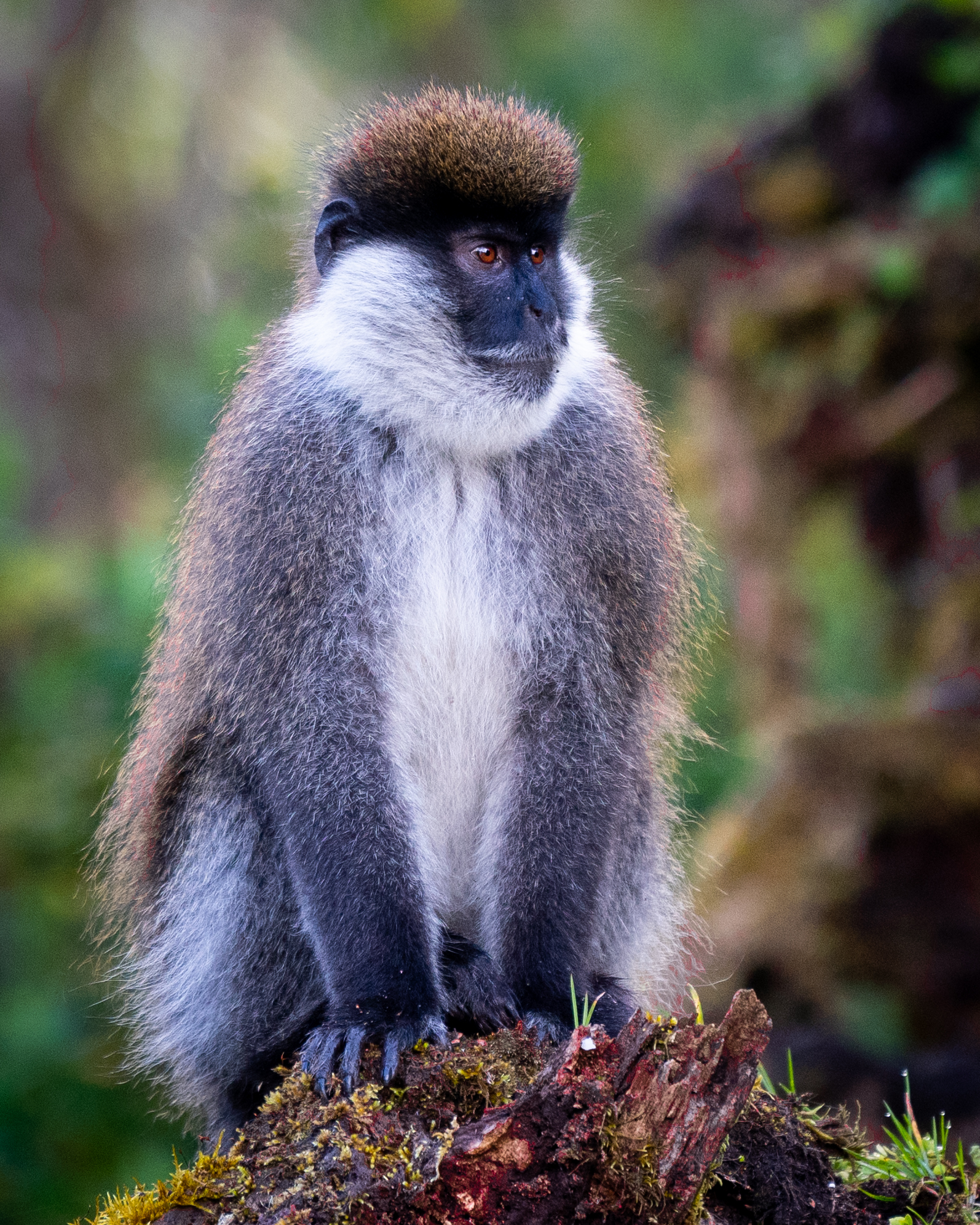 Endemic Bale Monkey in the Harenna Forest. We did not spot the Lions or Leopards on this trip.