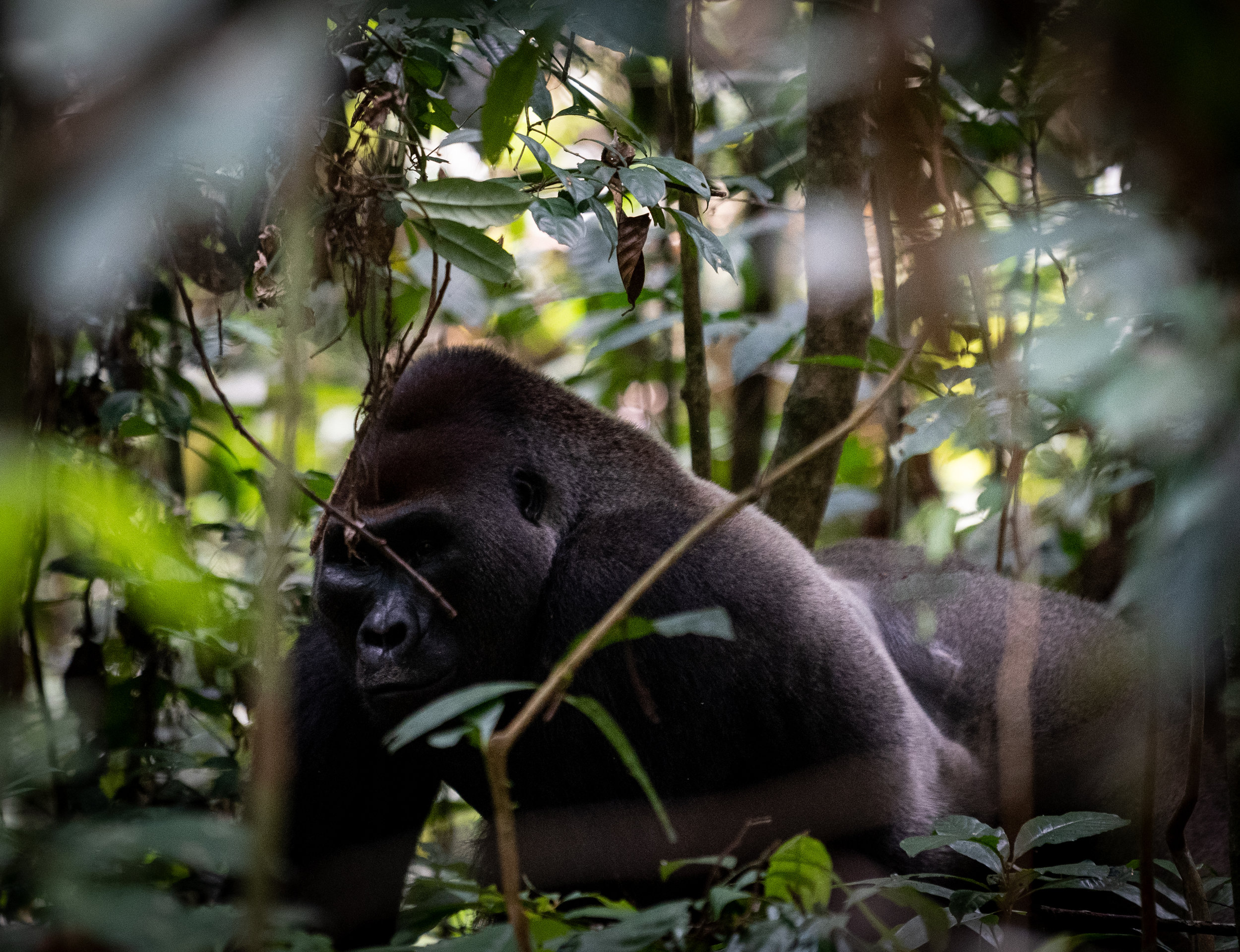 Abeke the silverback at Ivindo NP