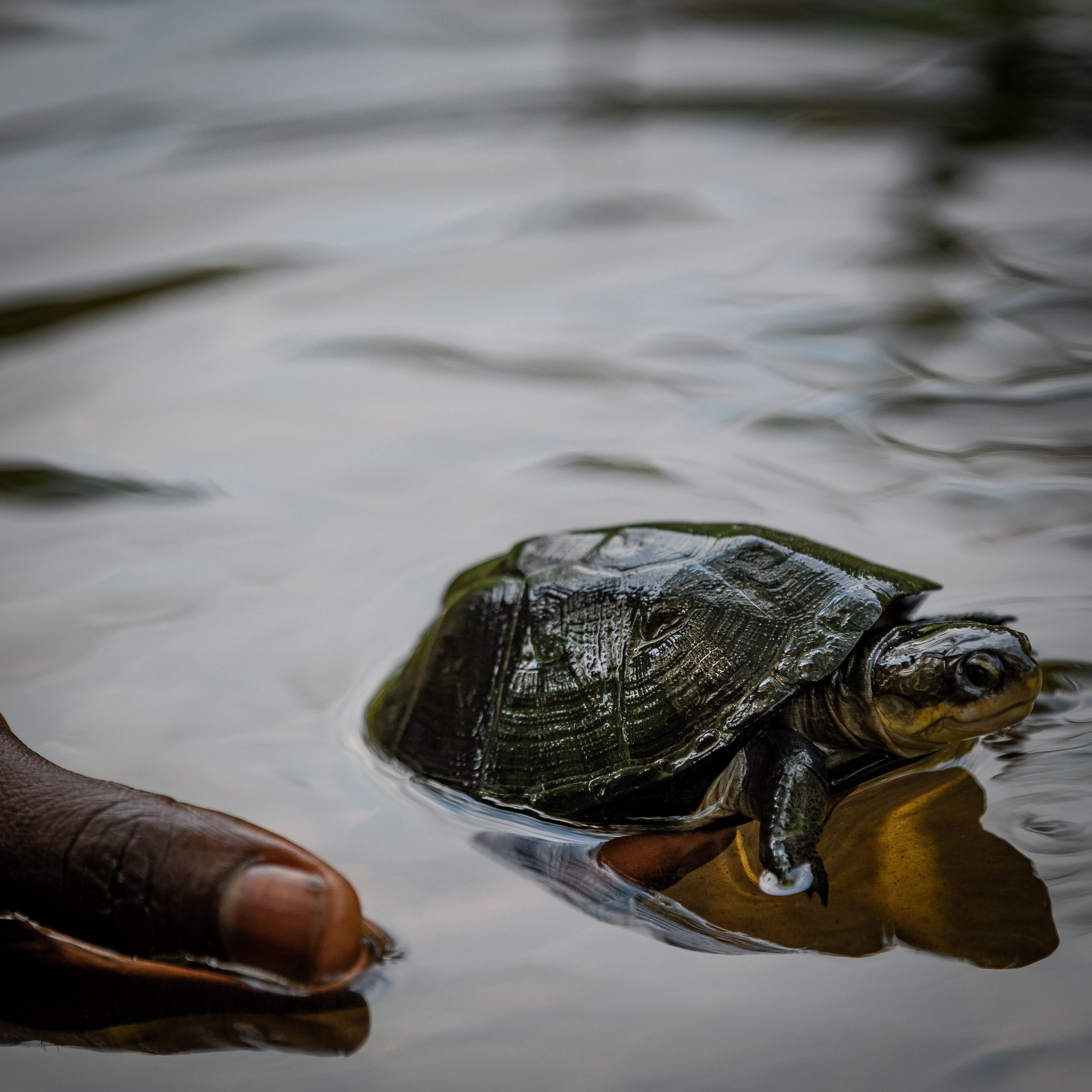 Ghislain releasing a turtle after having rescued it from poachers