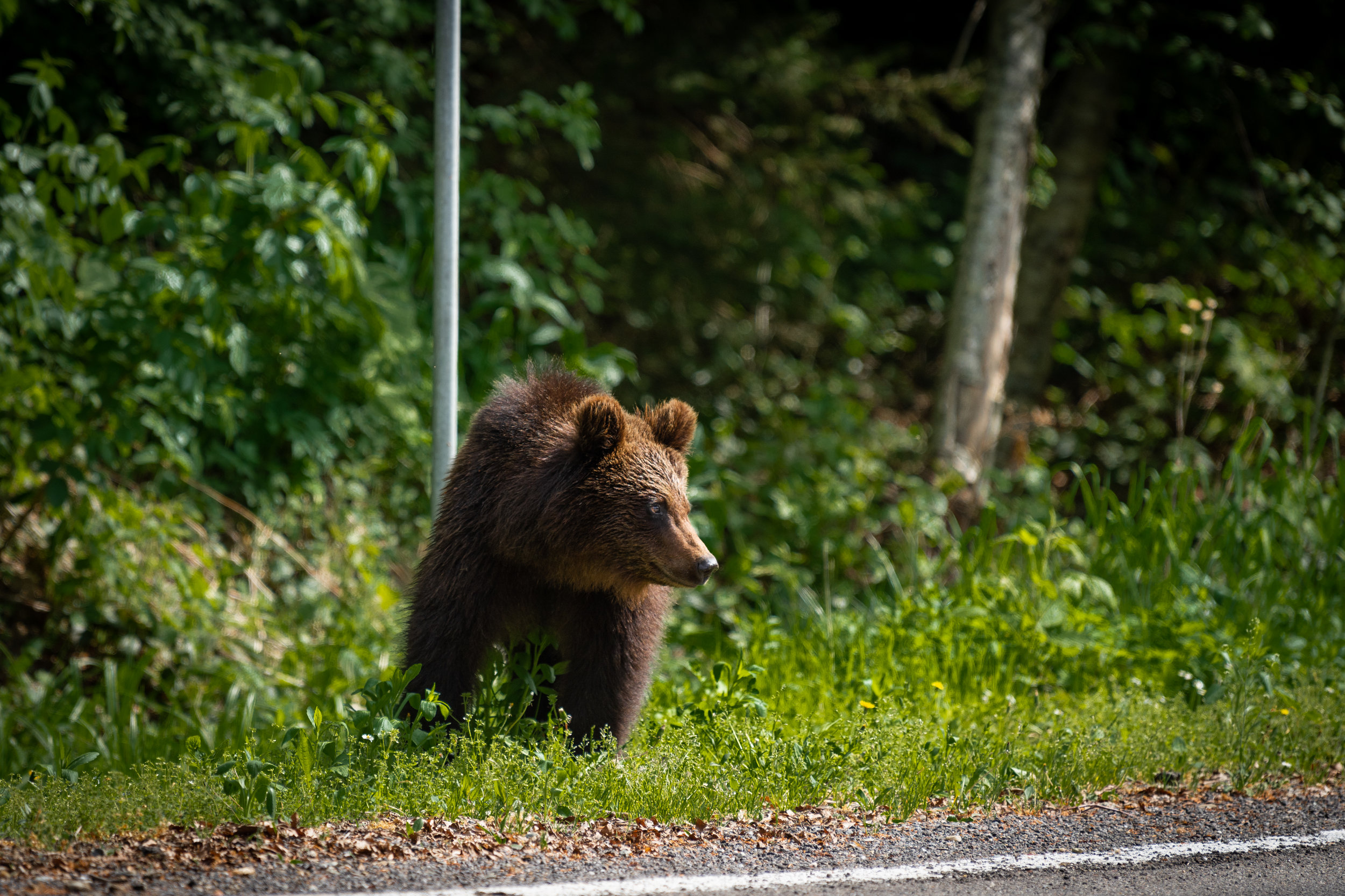 Bear cub on the side of the Fagaras road - April 2018