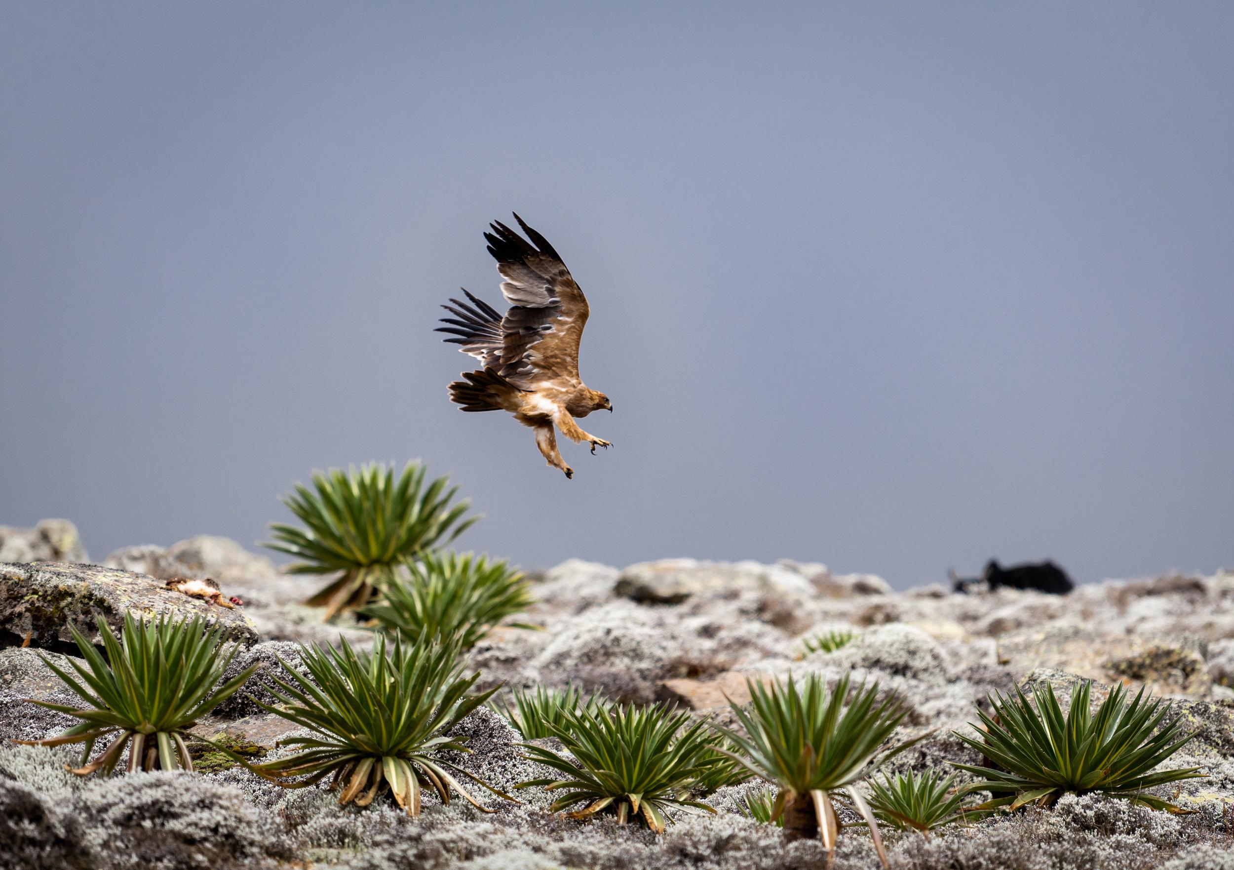 Tawny Eagle on the Sanetti Plateau