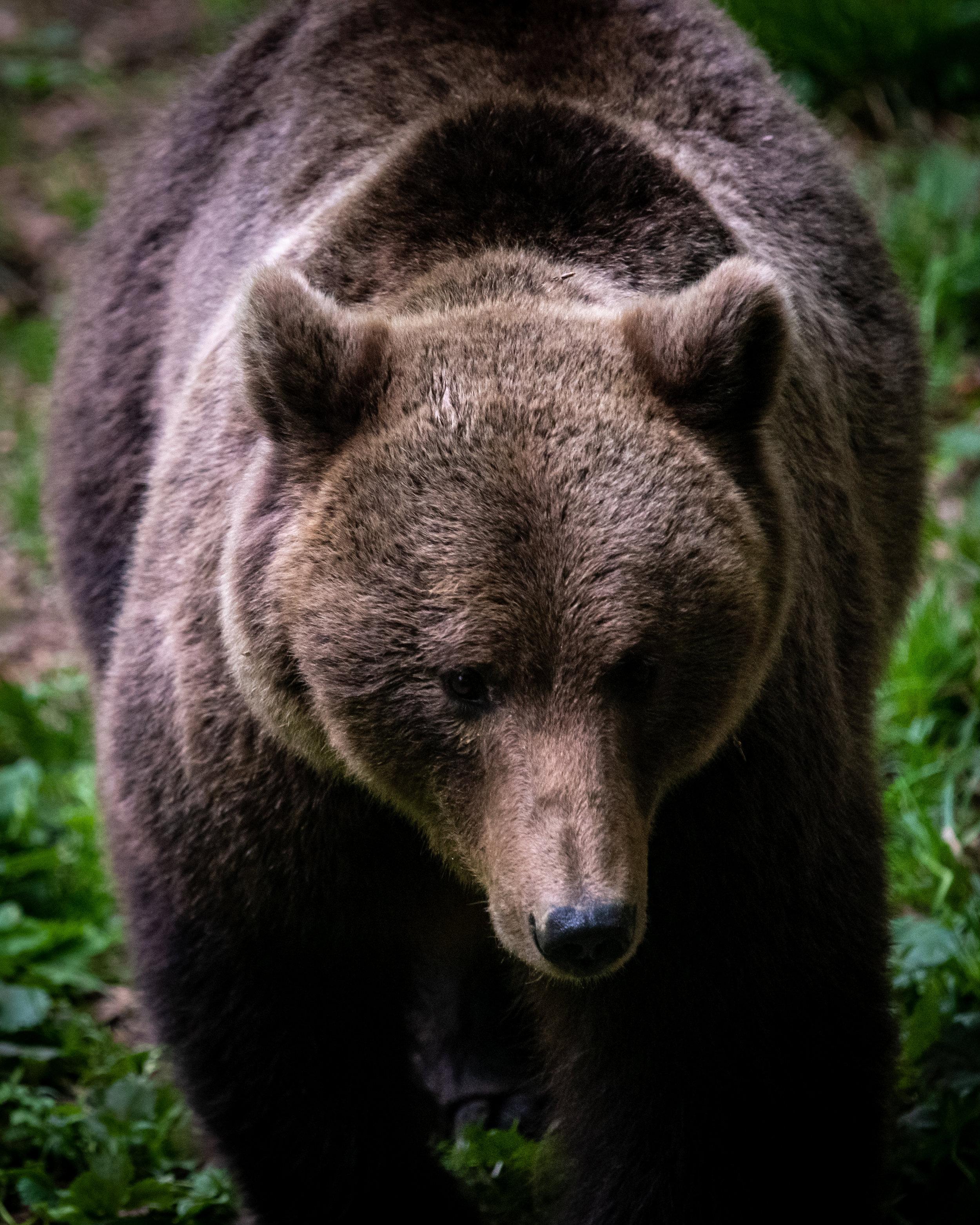Brown bear in Transylvania