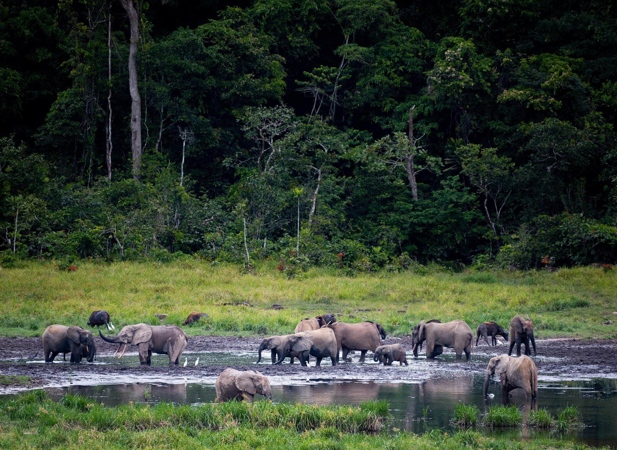 Elephants bathing at Langoue Bai