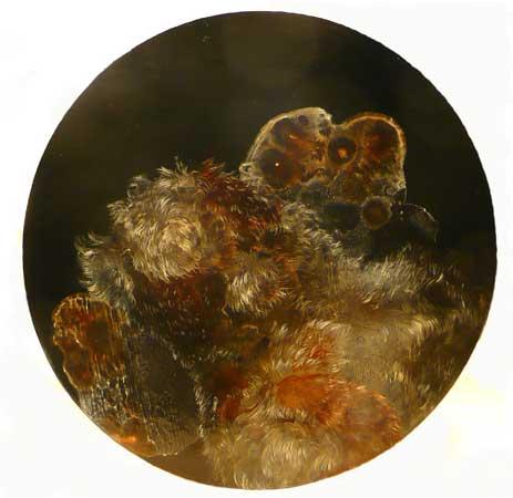 "Petri Dish Study No. 2,  acrylic on panel, 8½"" diameter , sold"